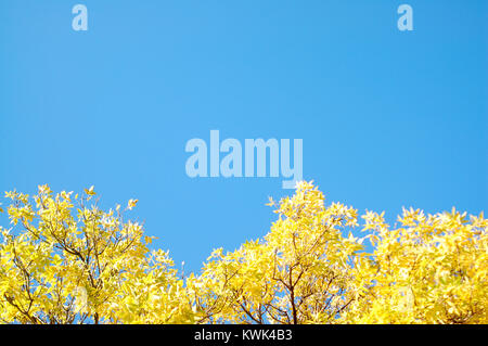 Tree with Yellow Fall Leaves against Blue Sky - Stock Photo