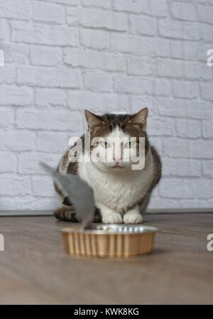 Old tabby cat stare grumpy at an empty food dish - Stock Photo