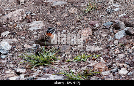 Rufous-Collared Sparrow at ground level, Monteverde, Costa Rica - Stock Photo
