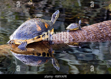 Florida Red-bellied Turtles - Green Cay Wetlands, Boynton Beach, Florida, USA - Stock Photo