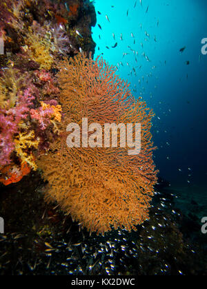 Gorgonian sea fan on a coral wall - Stock Photo
