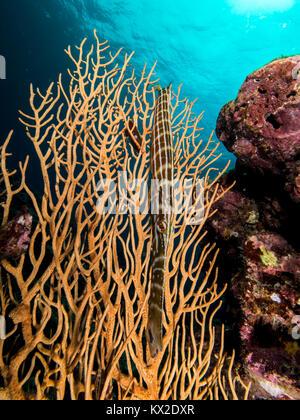 Trumpetfish by a gorgonian sea fan. - Stock Photo