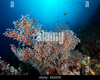 Sunburst Hollow branch coral - Stock Photo