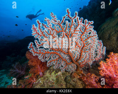 CGorgonian seafan with a diver - Stock Photo