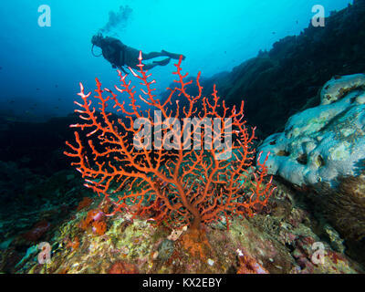 Red hollow branch coral with a diver in the background - Stock Photo