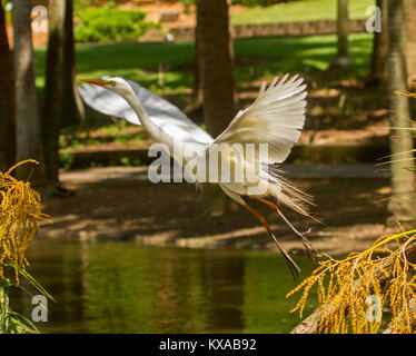Majestic Australian plumed / intermediate egret in flight over water of lake in city park, Bundaberg Queensland - Stock Photo
