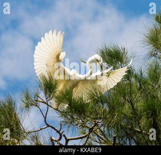 Australian plumed / intermediate egret in flight, landing in treetops with nesting material in bill, against blue - Stock Photo