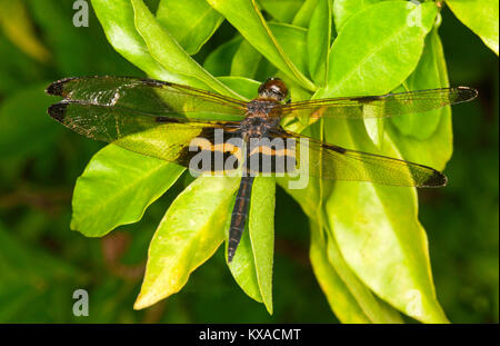 Yellow-striped flutterer dragonfly, Rhyothemis Phyllis, with opaque wings outstretched on emerald green foliage - Stock Photo