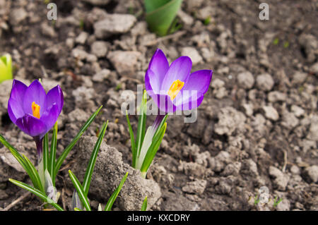 candid delicate primroses, flowers purple crocus closeup on the blurry background of soil - Stock Photo
