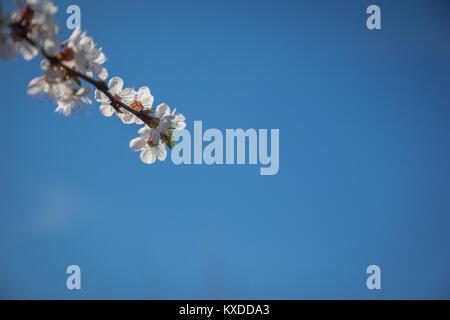 A small part of blossoming apricot(Prunus armeniaca) branch with white flowers on a background of blue sky - Stock Photo