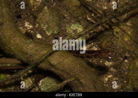 Brown Watersnake (Nerodia taxispilota) from Miami-Dade County, Florida, USA. - Stock Photo