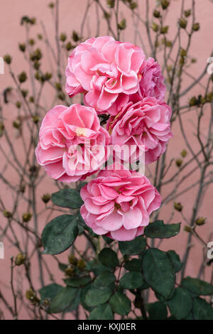 Outdoor pastel colored floral close up image of a rose bush with flowering open pink blossoms and green leaves on - Stock Photo