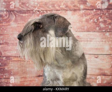Standard schnauzer portrait - Stock Photo