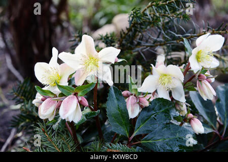 white hellebore blooming in springtime - Stock Photo