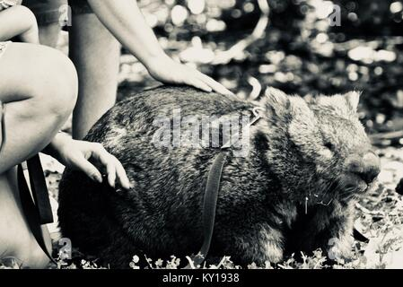Tame pet common wombat, Vombatus ursinus, getting patted from tourists at Australia Zoo, Beerwah, Queensland, Australia - Stock Photo