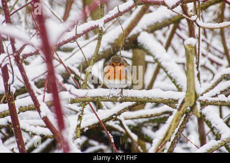 European robin,Erithacus rubecula,sitting on covered with snow tree branch in winter  near Westport lake,Stoke on - Stock Photo