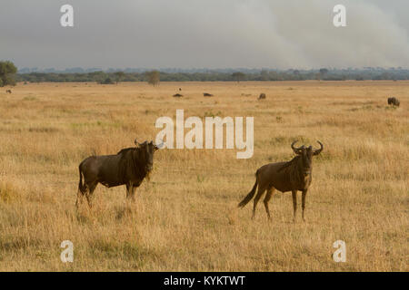 Wildebeest on the plains of the Serengeti National Park in Tanzania with a wild fire in the background. - Stock Photo