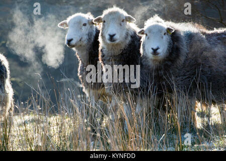 Herdwick ewes in early morning frost. Cumbria, UK. - Stock Photo