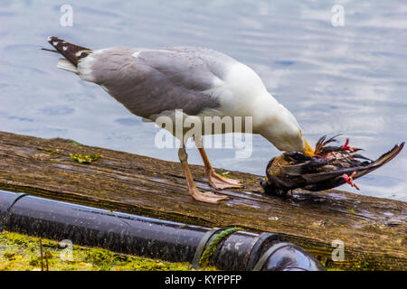 Seagull eating bird, Carnivore. - Stock Photo