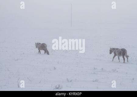A herd of two wild beautiful brown horses covered with snow and hoarfrost go through the snowy field in winter during - Stock Photo