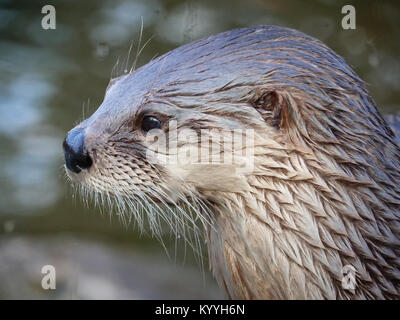 Head and shoulders portrait of a North American river otter Lontra canadensis  - captive animal at Slimbridge in - Stock Photo