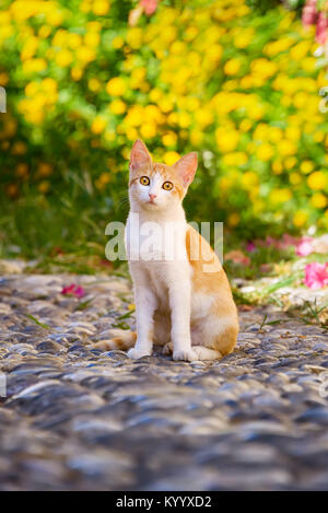 Alert cat, red tabby with white, sitting on a cobblestone path in front of yellow flowers in the old town of Rhodes, - Stock Photo