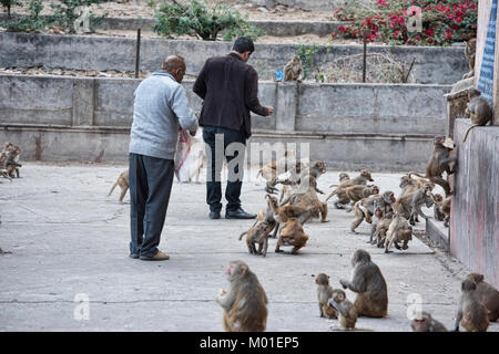Feeding time at the Galtaji Monkey Temple, Jaipur, India - Stock Photo