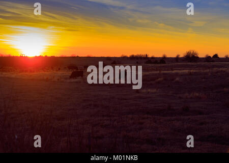 A pasture full of Cows grazing as the sun sets in Fairmont, Oklahoma 2018 - Stock Photo