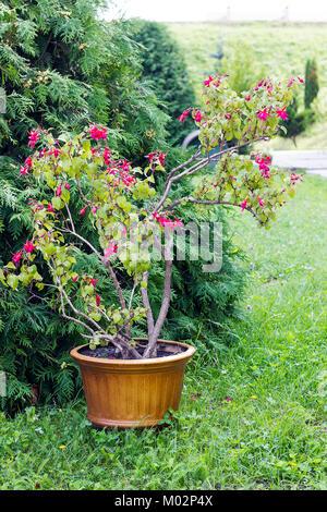 Bush of pink Fuchsia flowers grows in flowerpot on green grass in summer garden - Stock Photo