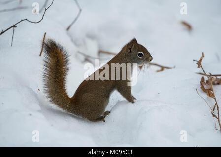 American Red Squirrel (Tamiasciurus hudsonicus) in snow, Elk Island National Park, Canada - Stock Photo