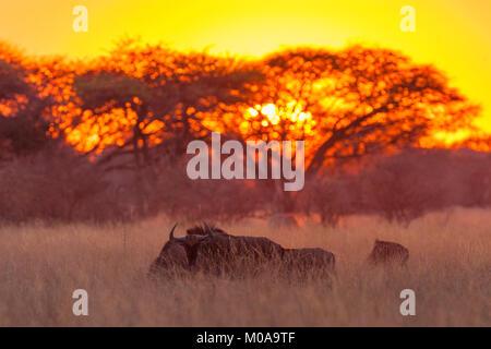 A herd of Blue Wildebeest seen at sunrise in Zimbabwe's Hwange national Park. - Stock Photo