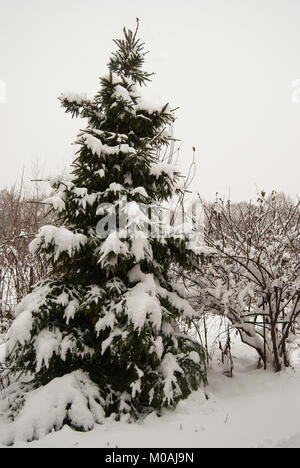 A lone spruce covered with fresh white fluffy snow. After a heavy snowfall. - Stock Photo