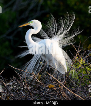 Great egret (Ardea alba) in nuptial plumage - Stock Photo