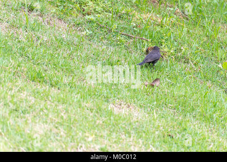 The shiny cowbird parasitizing the rufous collared sparrow on the ground - Stock Photo