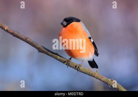 Eurasian (common) bullfinch (Pyrrhula pyrrhula) in the rays of the rising sun (sitting on the branch with pink-blue - Stock Photo