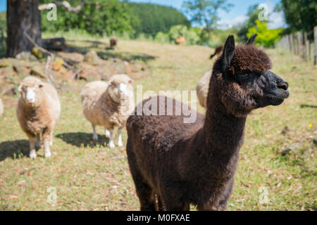 Alpaca and sheep live on a farm in Tasmania, Australia - Stock Photo