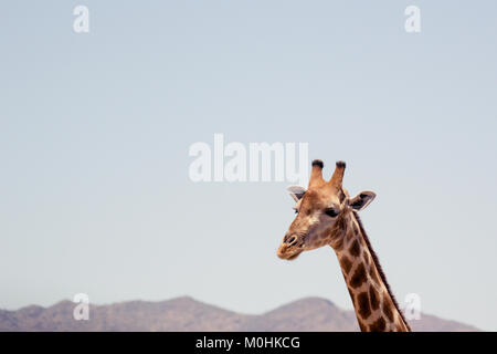 Close up Giraffe Head in Profile. - Stock Photo