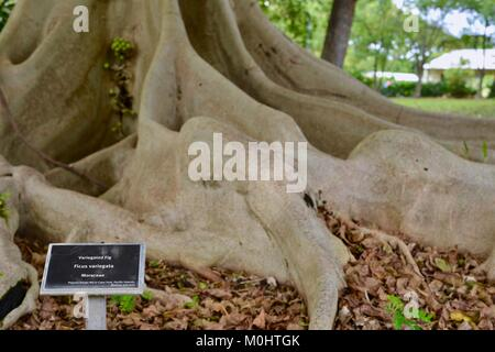 Variegated fig (Ficus variegata) roots, fruits and trunk, Anderson Park Botanic Gardens, Townsville, Queensland, - Stock Photo