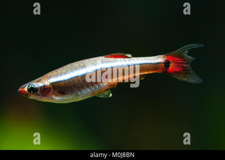 Aquarium fish White Cloud Mountain minnow swimming against soft green plants background. Detailed fish pattern. - Stock Photo