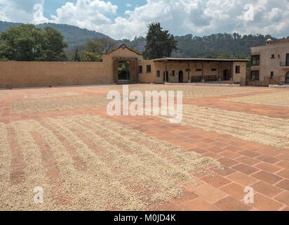 Premium Arabica Coffee Beans Drying In The Sun On A Tile Courtyard At The Filadelfia Coffee Plantation La Antigua - Stock Photo