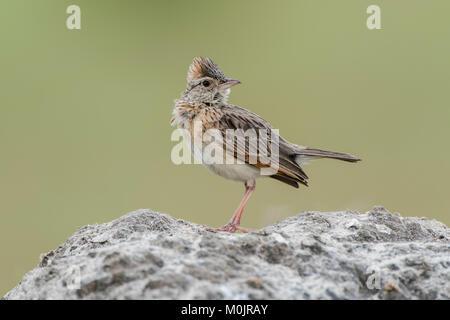 Rufous-naped lark (Mirafra africana) sits on a stone, Savuti, Chobe National Park, Chobe District, Botswana - Stock Photo