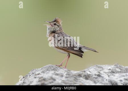 Rufous-naped lark (Mirafra africana) sits on a stone, calling, Savuti, Chobe National Park, Chobe District, Botswana - Stock Photo