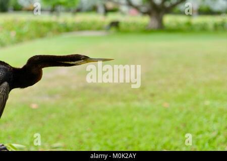 Close up images of an Australasian darter Anhinga melanogaster, Anderson Park Botanic Gardens, Townsville, Queensland, - Stock Photo