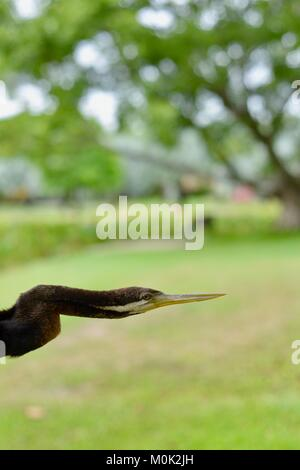 Close up images of an Australasian darter Anhinga melanogaster, Anderson Park Botanic Gardens, Townsville, Queensland, - Stock Photo