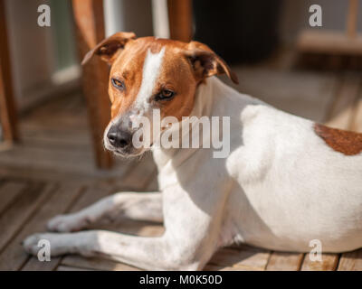 15 months old Danish Swedish Farmdog. This breed, which originates from Denmark and southern Sweden is lively and - Stock Photo