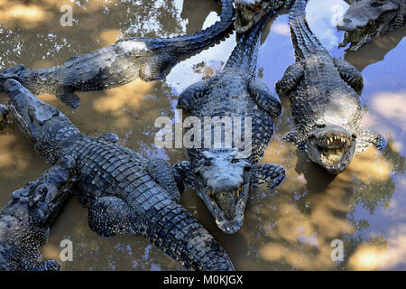 Group of Cuban Crocodiles (crocodylus rhombifer). Image taken in a natural park in the island of Cuba - Stock Photo