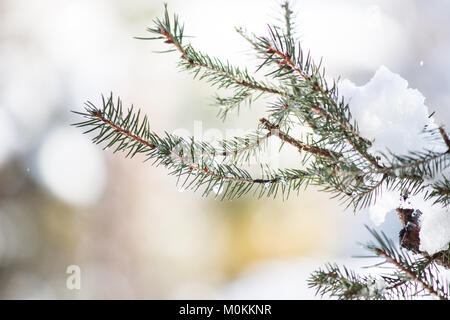 23 January 2018  Leaves of Norway Spruce (Picea abies) covered with snow and water drop - Stock Photo
