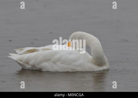 Adult Bewick`s Swan - Stock Photo