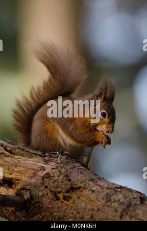 Red Squirrel Eating Nut on Tree Branch in Scotland - Stock Photo