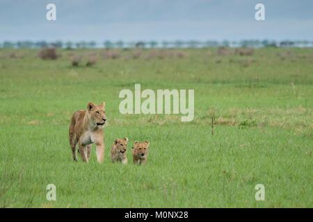 Lion (Panthera leo),mother with two cubs in grassland,Savuti,Chobe National Park,Chobe District,Botswana - Stock Photo
